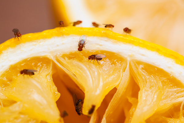 How to get rid of fruit flies, for good